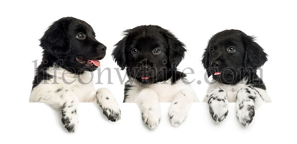 Three Stabyhoun puppies, panting and leaning on a white board