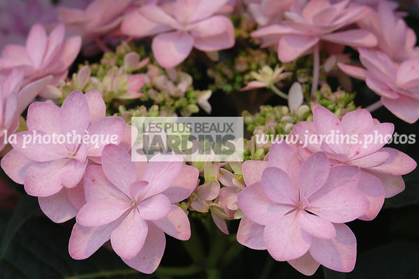 Hydrangea You & Me 'Romance'. Plantarium. Hollande