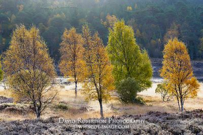 Image - Silver birch trees in autumn colours and frost, Glen Affric, Inverness, Highland, Scotland.