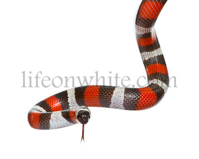 Pueblan milk snake or Campbell's milk snake