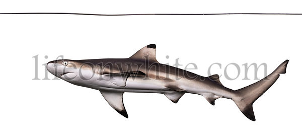 Blacktip reef shark viewed from below swimming under water line, Carcharhinus melanopterus, isolated on white