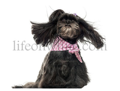 Lhassa apso sitting, in the wind, isolated on white