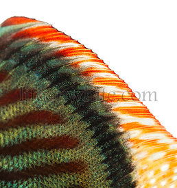 Close-up of a Blue snakeskin discus\' dorsal fin, Symphysodon aequifasciatus, isolated on white