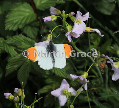 Male Orange Tip butterfly (Anthocharis cardamines) waiting on Cuckoo Flower (Lady's Smock) (Cardamine pratensis), Glen Tromie...