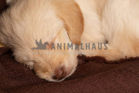 Close up of cute lab puppy sleeping on brown blanket