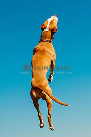 A bully breed dog jumping straight up into the sky