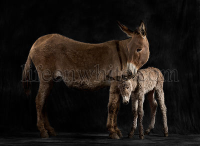 Mother provence donkey and her foal against black background