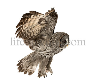 Side view of a Great Gray Owl flying, Strix nebulosa, isolated on white