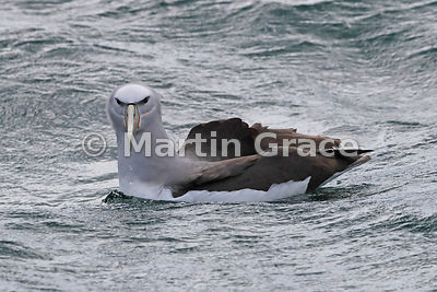 Salvin's Mollymawk (Salvin's Albatross) (Thalassarche salvini), Stewart/Rakiura & Ulva Islands, South Island, New Zealand
