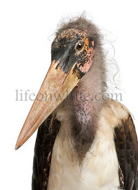 Portrait of Marabou Stork, Leptoptilos crumeniferus, 1 year old, in front of white background
