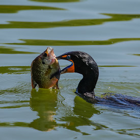 Skarfur_-_Cormorant_eating_fish_in_Florida_-_emm.is