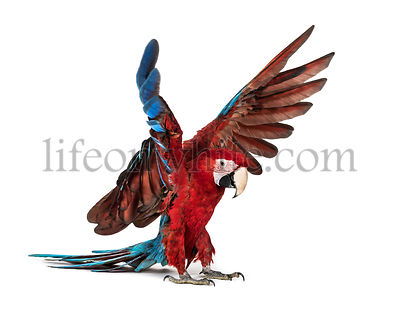 Green-winged Macaw, Ara chloropterus, landing in front of white