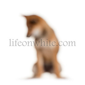 Shiba Inu dog out of focus sitting against white background