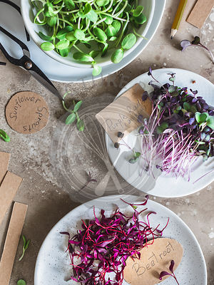 Microgreens: sunflower sprouts, beet root sprouts and radish sprouts  on the plates