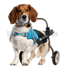 Paralyzed handicapped Basset Artesien Normand dog, 8 years old, in front of white background