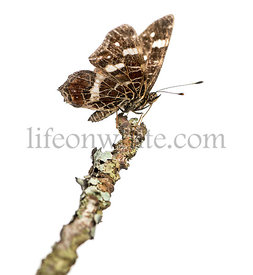 Map butterfly landed on a branch, Araschnia levana, isolated on white