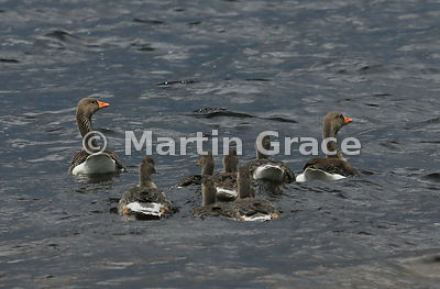 Pair of Greylag Geese (Anser anser) with five well-grown goslings on water, Lochindorb, Scottish Highlands