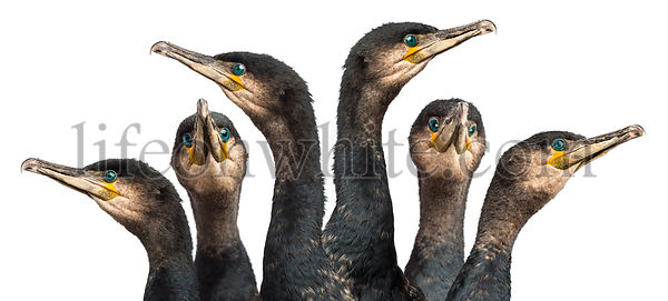 Six Great Cormorants head, Phalacrocorax carbo, also known as the Great Black Cormorant against white background