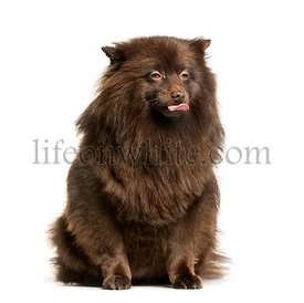 Keeshond sitting against white background