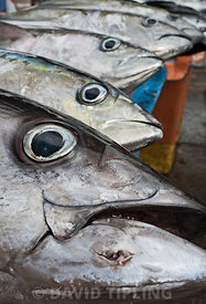 Yellowfin Tuna Thunnus albacares in fish market in Honiara on Guadalcanal, Solomon Islands, South Pacific