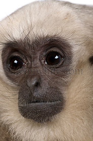 Close-up of Young Pileated Gibbon, 1 year , Hylobates Pileatus
