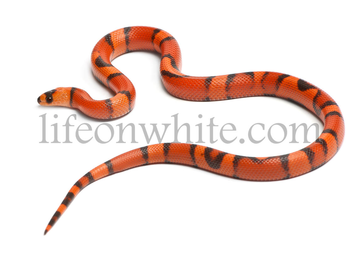Tricolor hypomelanistic aberrant Honduran milk snake, Lampropeltis triangulum hondurensis, in front of white background