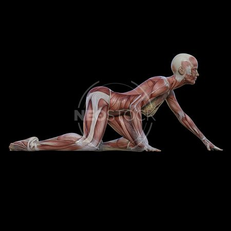cg-body-pack-female-muscle-map-neostock-31
