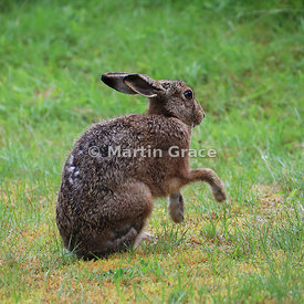 European Brown Hare (Lepus europaeus) grooming and shadow-boxing, Cairngorm National Park, Scotland: Image 2 of a sequence of 13