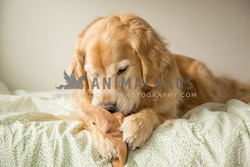 Golden retriever holding hat toy with paws on bed looking