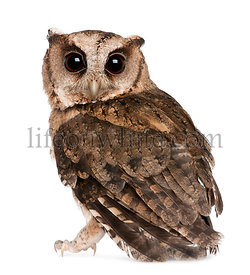 Young Indian Scops Owl, Otus bakkamoena, in front of white background