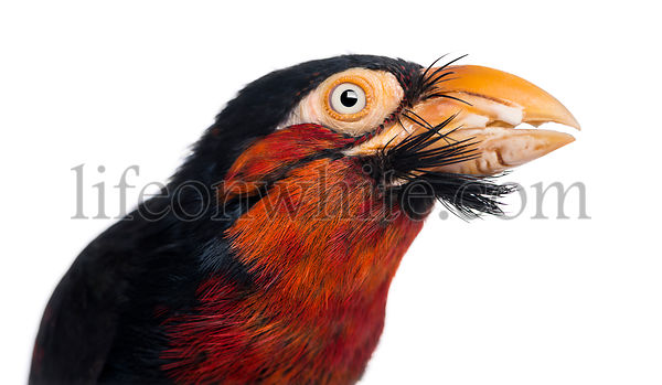 Close-up of a Bearded Barbet - Lybius dubius