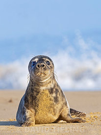 Grey Seal Halichoerus grypus pup Horsey Norfolk.