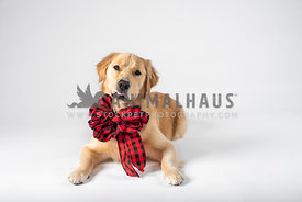 golden retriever wearing big black & red bow with silly grin