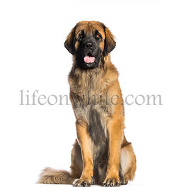 Leonberger, 2 years old, sitting in front of white background