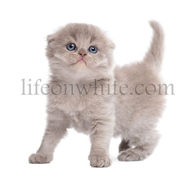 Highland fold kitten standing, looking up, isolated on white