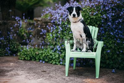 A border collie type dog sits on a chair infront of a flowering shrub
