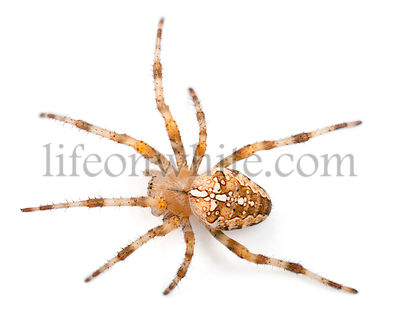 European garden spider, Araneus diadematus, in front of white background