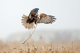 Western Marsh Harrier Circus aeruginosus female bringing in nest material in reedbed North Norfolk early spring