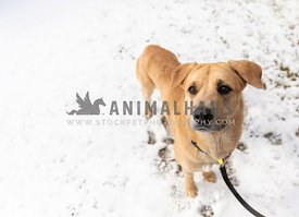 A leashed shepherd dog in the snow
