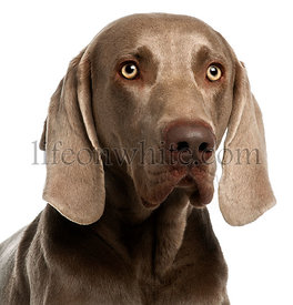 Close-up of a Weimaraner, 3 years old, in front of white background