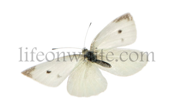 Flying Small White viewed from up high, Pieris rapae, isolated on white