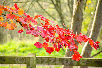 Red maple leaves on tree branch in autumn woodland.