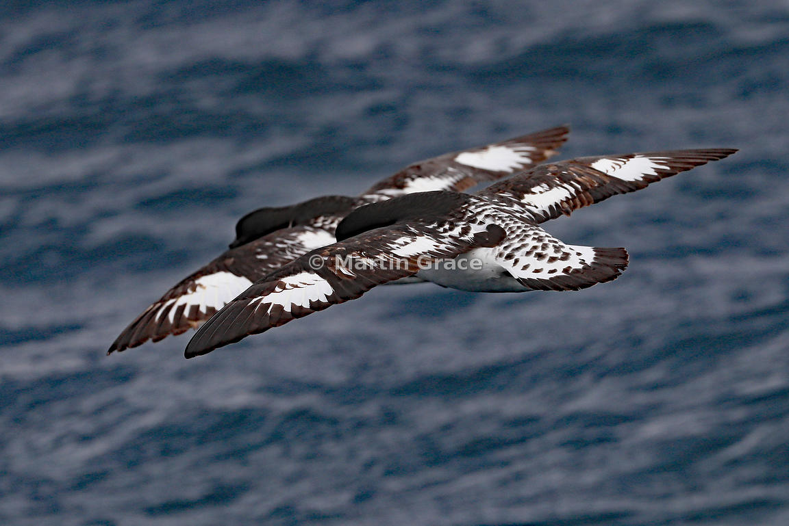 Cape Petrels (Daption capense) practising the art of synchronised flight, Kaikoura, Canterbury, South Island, New Zealand