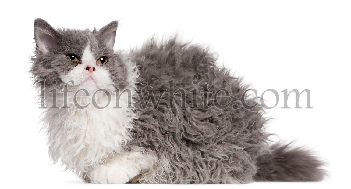 Selkirk Rex kitten, 5 months old, sitting in front of white background