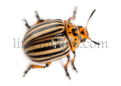Colorado potato beetle, also known as the Colorado beetle, the ten-striped spearman, the ten-lined potato beetle or the potat...