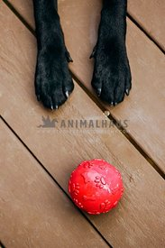 The paws of the black dog next to a red ball