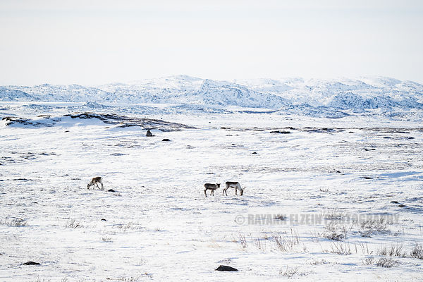 Norwegian reindeer on the snow covered tundra
