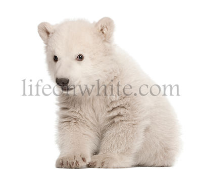 Polar bear cub, Ursus maritimus, 3 months old, sitting against white background
