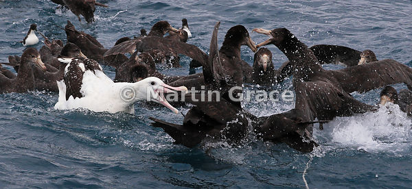 Southern Royal Albatross (Diomedea epomophora) with Northern Giant Petrels (Macronectes halli), Kaikoura, Canterbury, South I...
