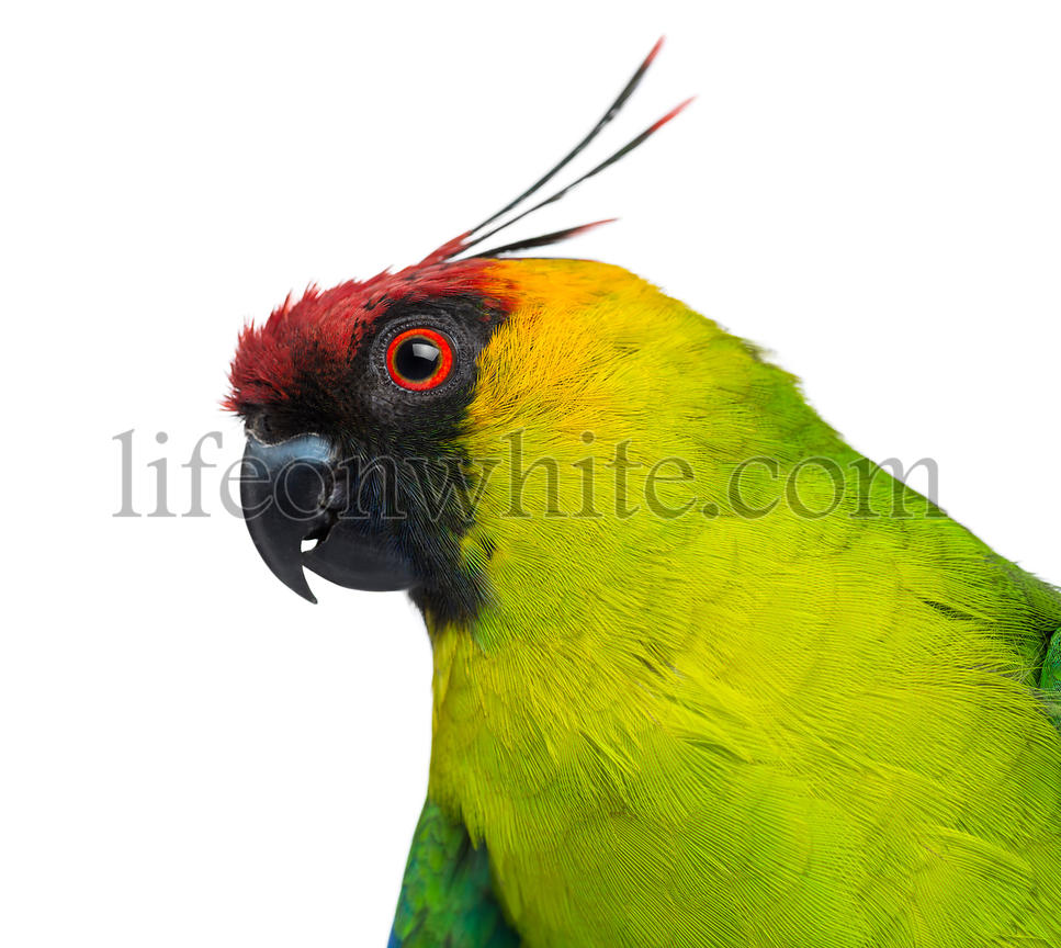 Close-up of a Horned Parakeet profile, Eunymphicus cornutus, isolated on white